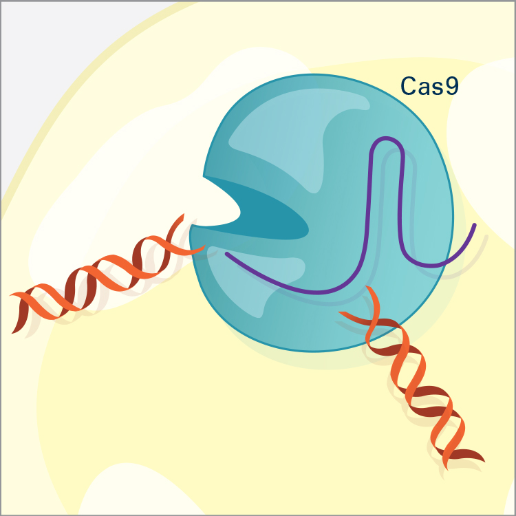 The Cas9 enzyme cuts both strands of the DNA