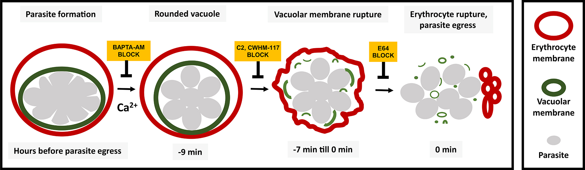 Illustration showing sequence of malaria parasite release