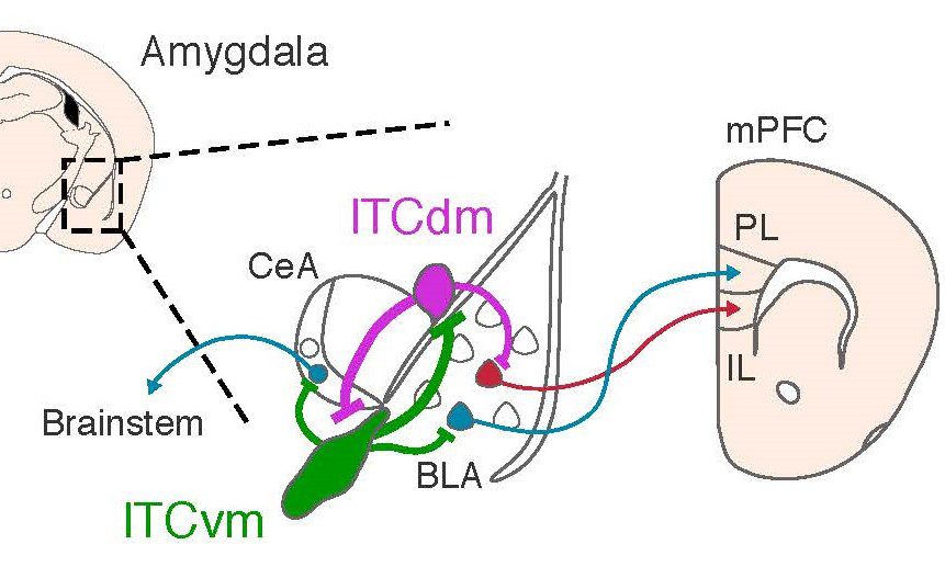 Distinct clusters of neurons located in the amygdala modulate high and low fear states via connections to other regions in the brain