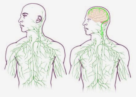 Lymphatic Vessels Discovered In Central Nervous System National