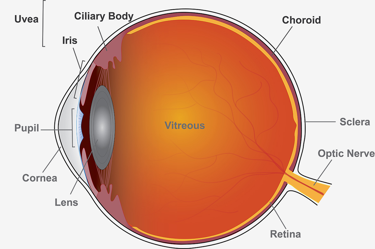 Diagram showing parts of the eye.