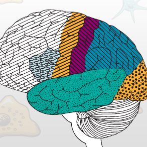 Illustration showing the regions of the brain.