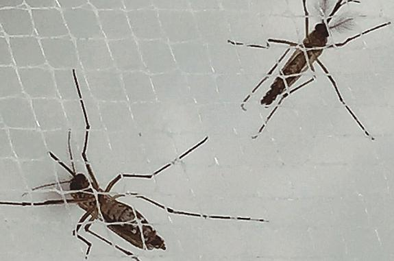 Aedes aegypti mosquitos on netting