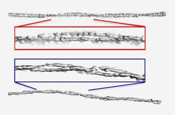 Alpha-synuclein fibrils from people with PD and MSA show different levels of twisting.