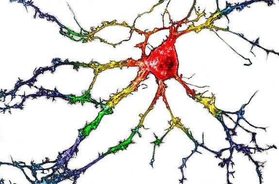 Branched neuron with a series of different colors from the cell body to the outer branches