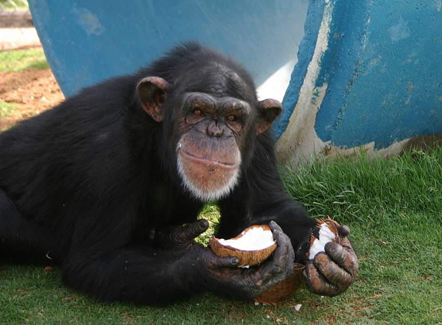 Photo of a chimpanzee eating a coconut.