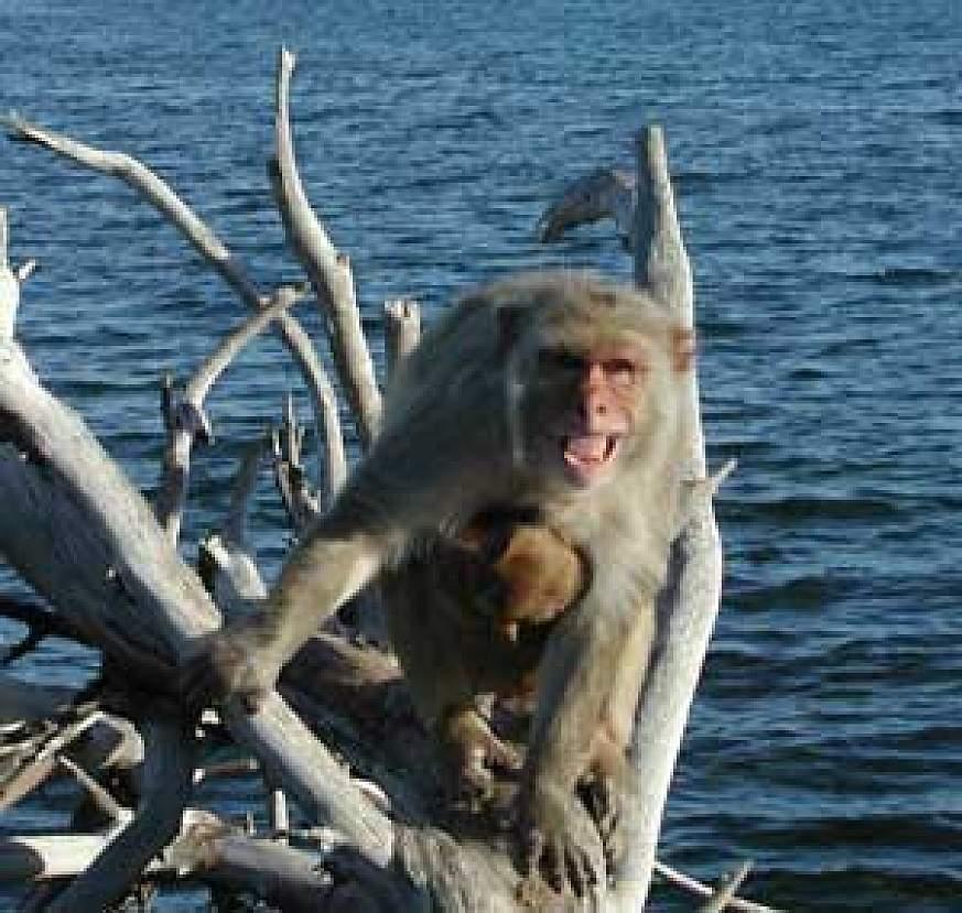 macaque,
