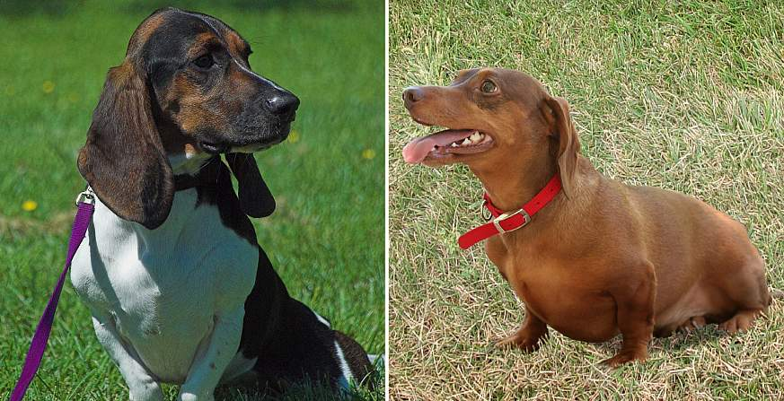 Image of a Basset Hound (left) and Dachshund