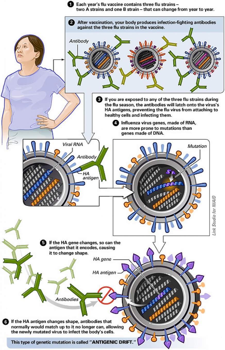 Flu Virus Antigenic Drift