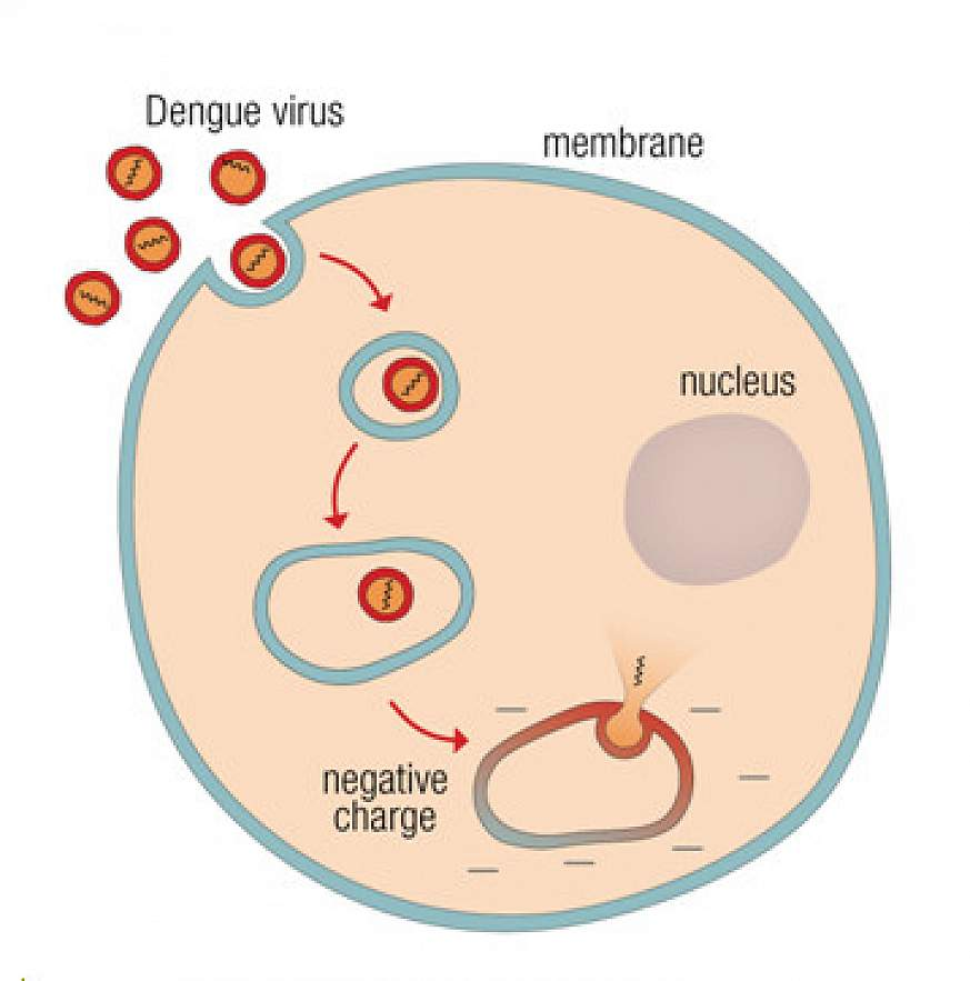 Graphic shows how the virus is taken into the cell and releases its DNA in the presence of a negative charge