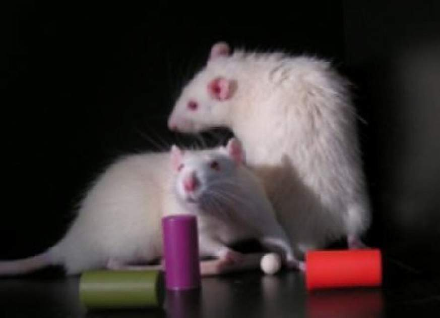 rats and objects of interest.