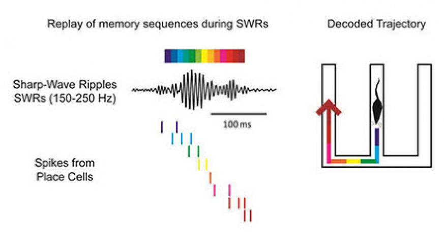 Graphic explaining memory replay in mice