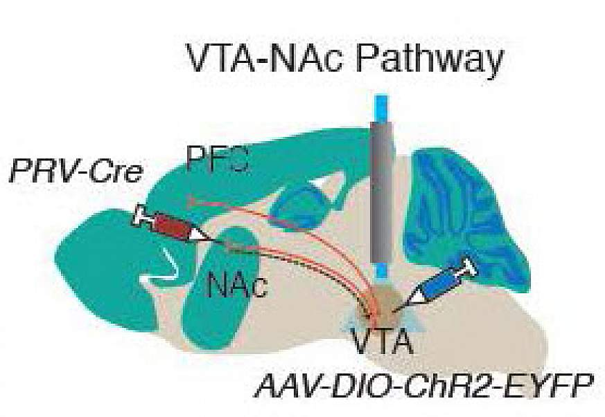 Image of the VTA-NAc pathway
