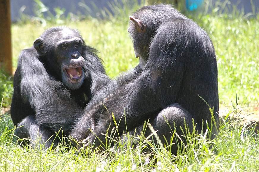 Image of two chimpanzees