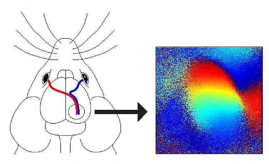 Illustration of how the eyes connect within the mouse brain