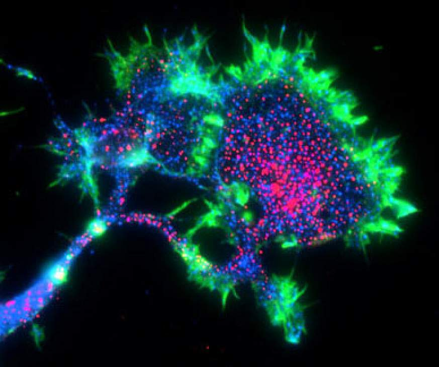 Image of PirB in nerve cells