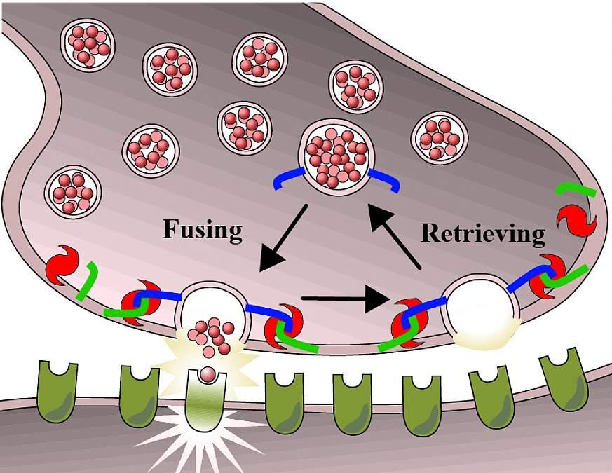 Illustration of nerve cells releasing neurotransmitters