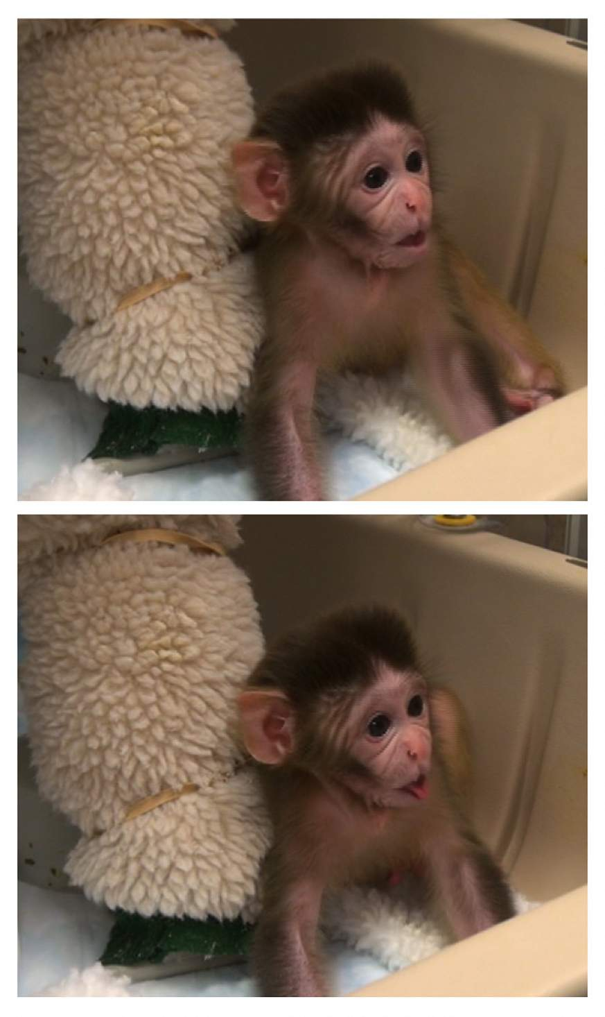 Rhesus monkey sticking out its tongue.