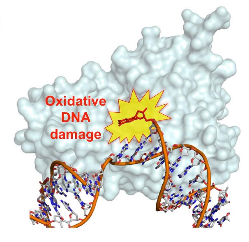 DNA nucleotide damaged by oxidation
