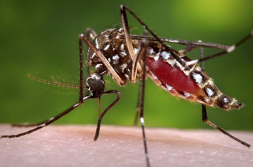 Image of a female mosquito