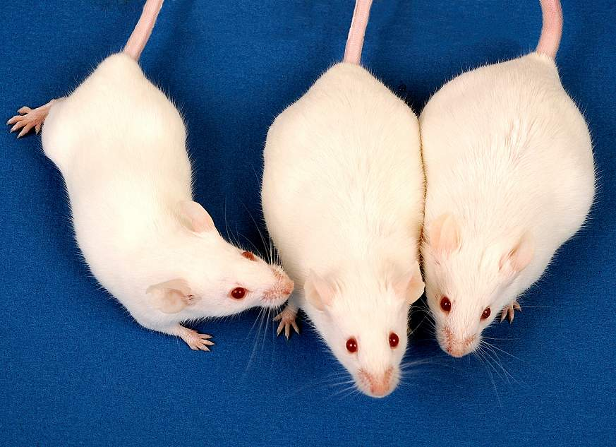Image of mice from the study