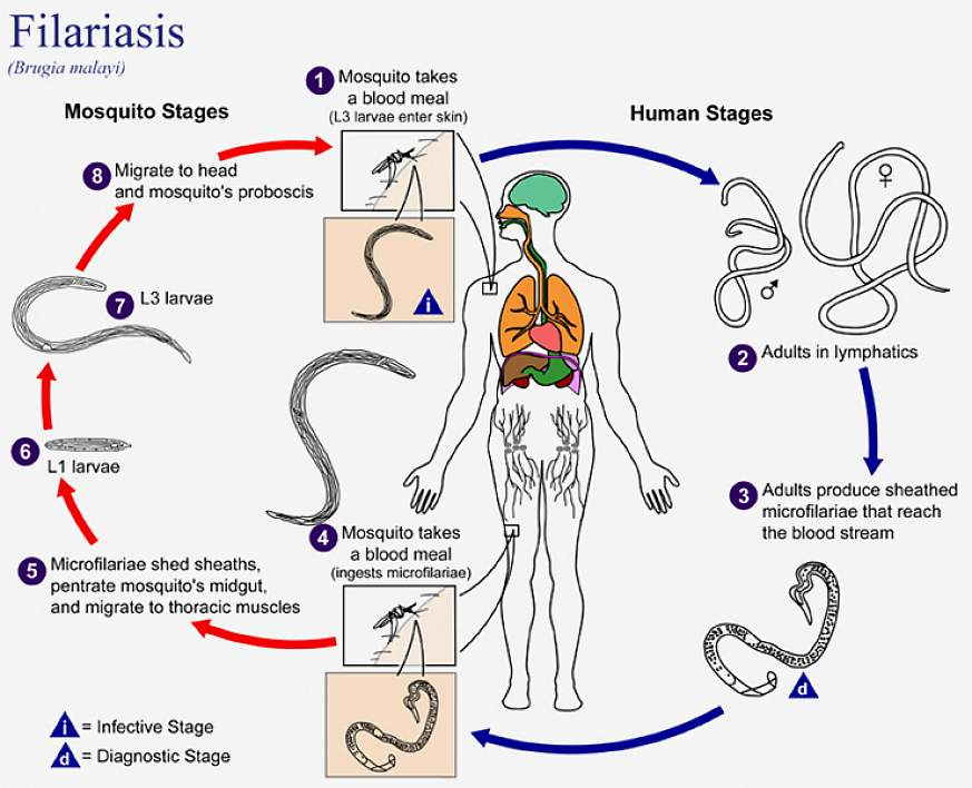 The life cycle of Brugia malayi, the causal agent of Filariasis.