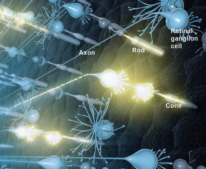 Illustration of neural activity in the retina.