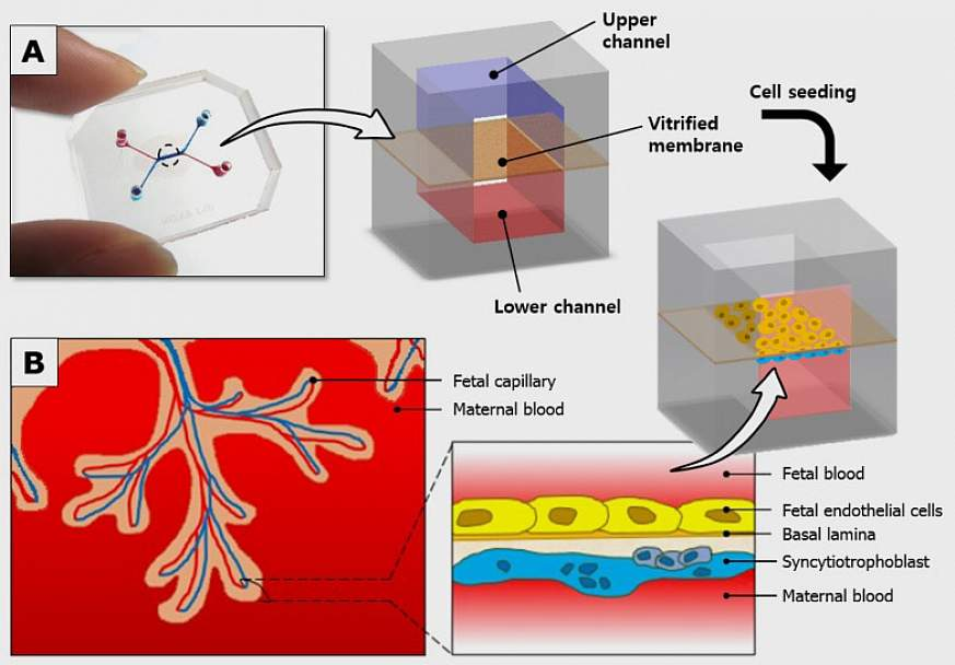 Illustration of placenta-on-a-chip device