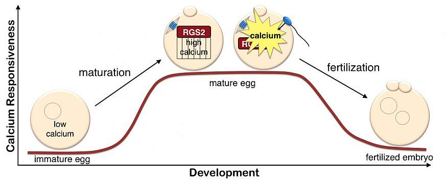 A graphic showing the RGS2 process.