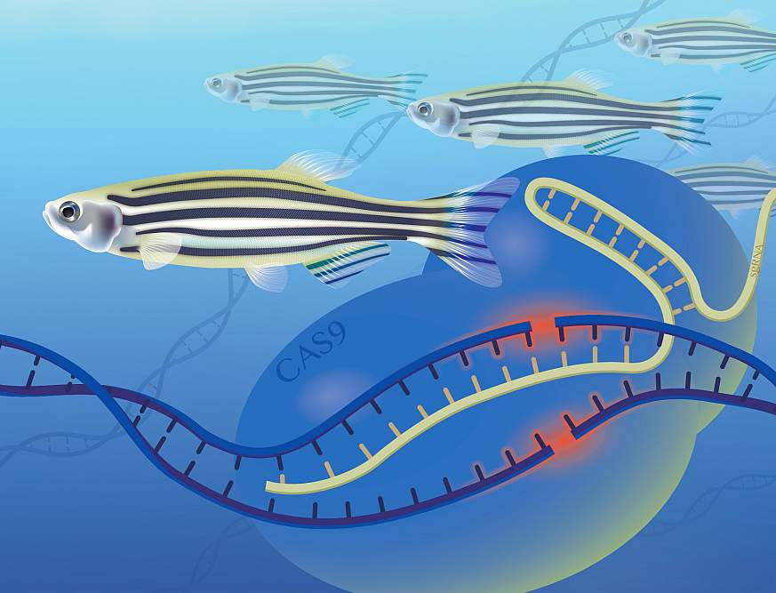 The image depicts several zebrafish swimming in a sea of DNA strands. The CAS9 represents the enzyme used to cut the DNA strand and either incorporate or remove pieces of DNA, which is gene editing. The sgRNA is a genetic template used in the process.