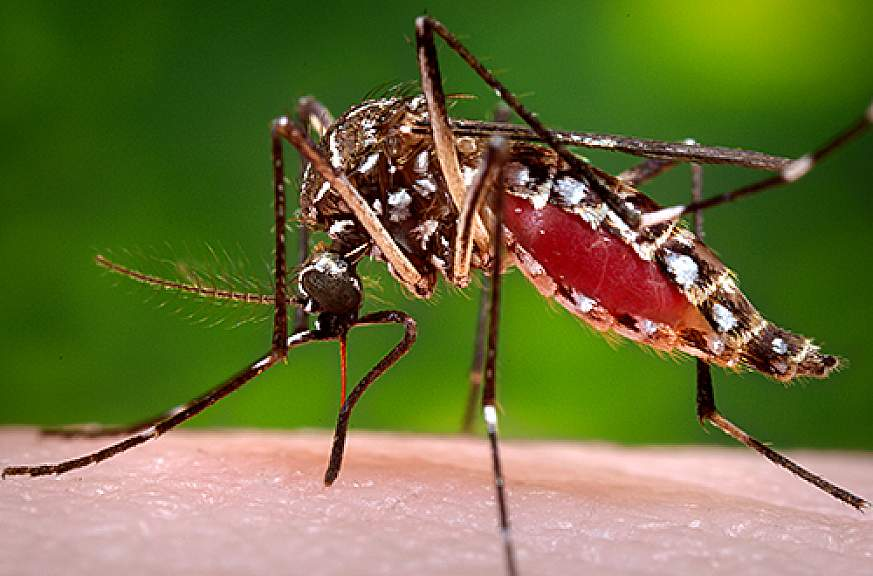 Photo of female A. aegypti mosquito after blood meal.
