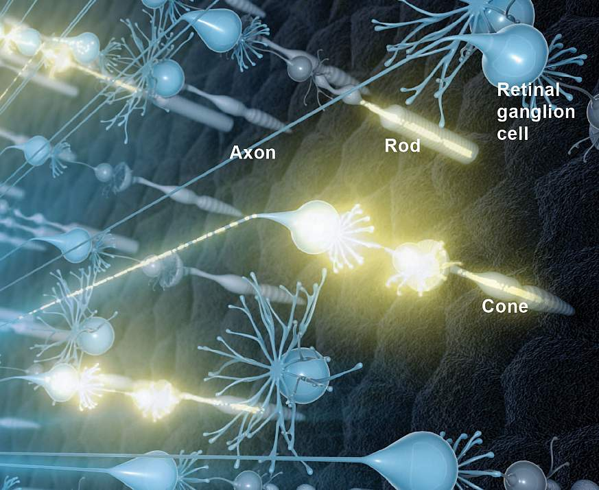Illustration of neural activity in the retina