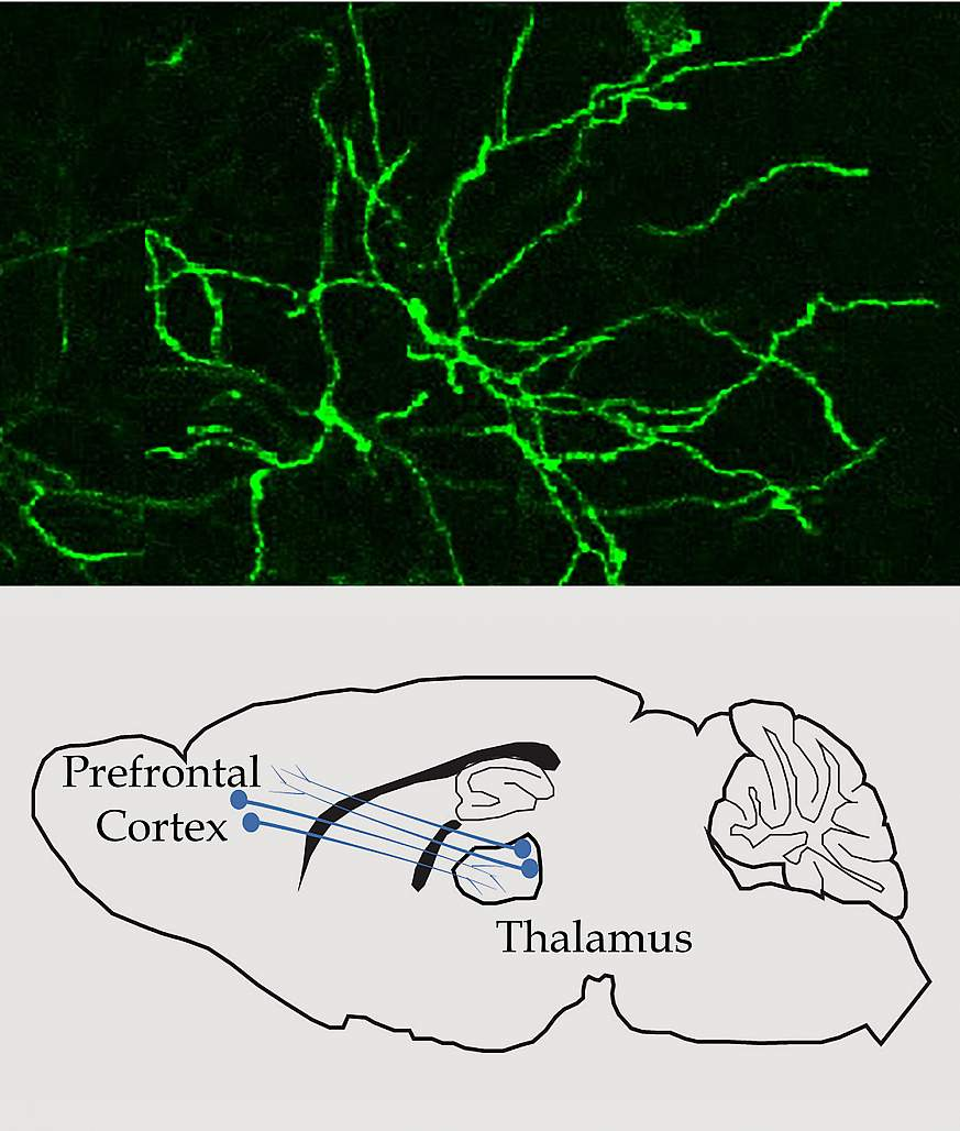 Image and illustration of communication in the thalamus