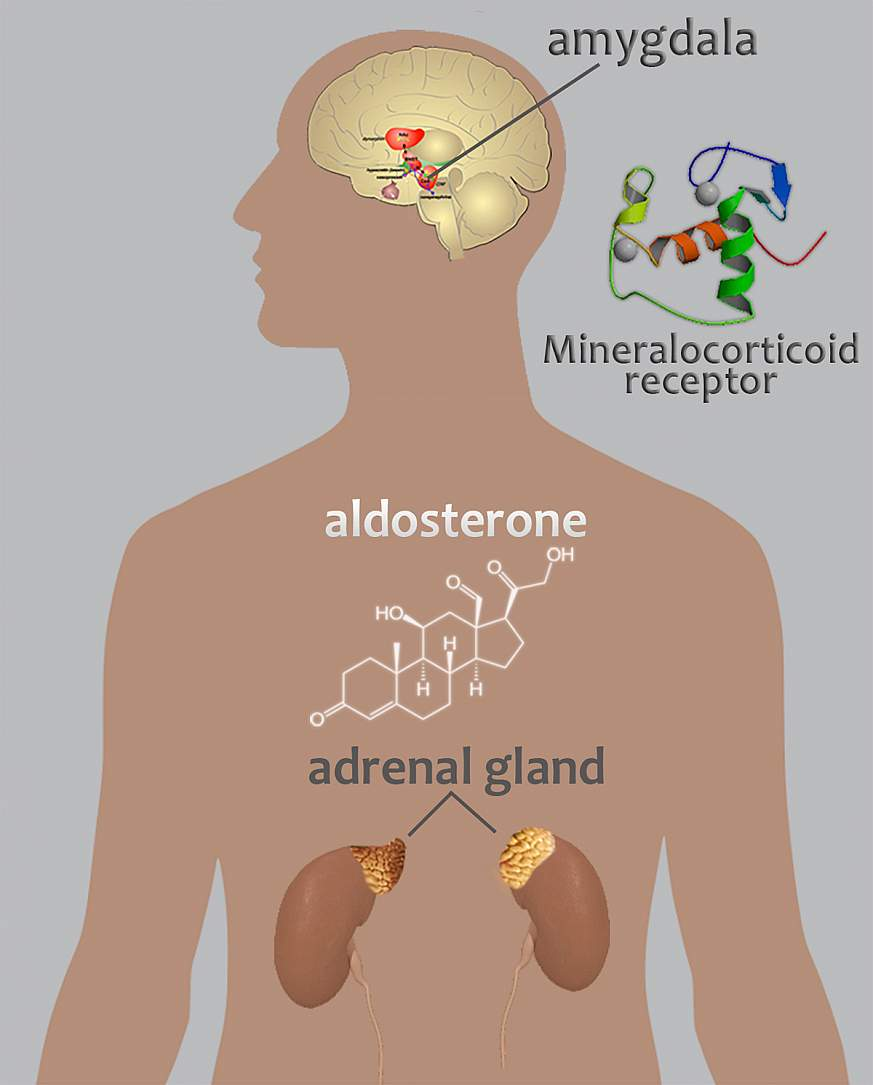 Diagram of adrenal glands, aldosterone structure, and amygdala.