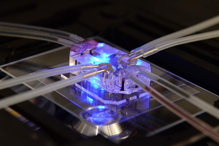 This lung-on-a-chip serves as an accurate model of human lungs to test for drug safety and efficacy.