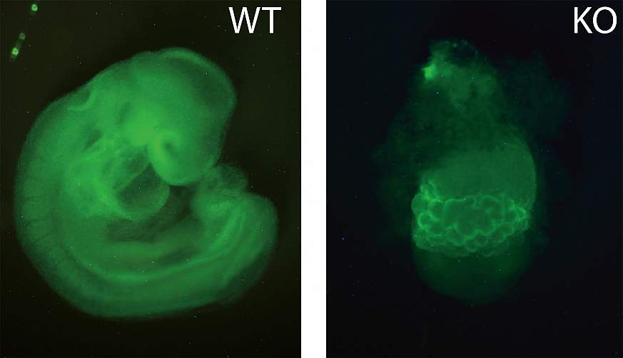 Microscopy image of a normal mouse embryo (left) and one that is missing ZFP568 (right).