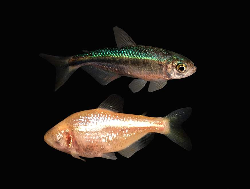 Image of cavefish with and without eyes