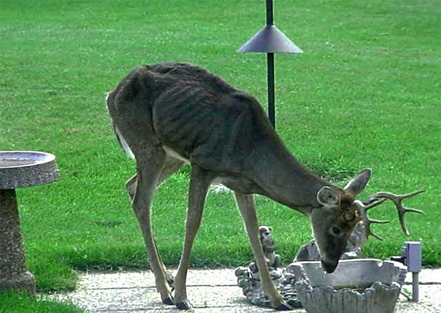 A deer showing signs of chronic wasting disease