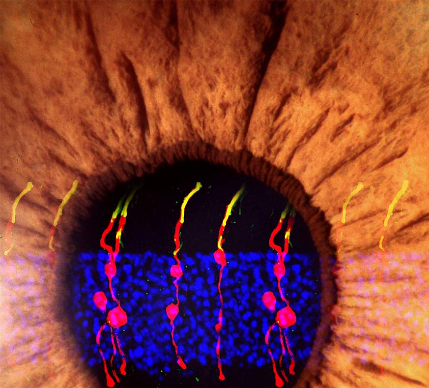 Illustration of Müller glia-derived rod photoreceptors