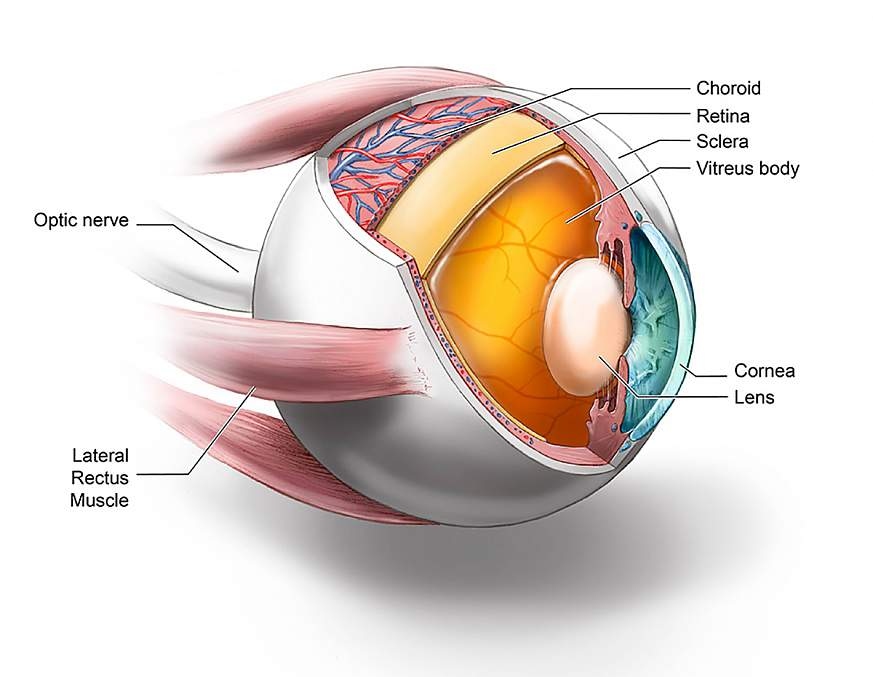 Illustration of ocular tissues