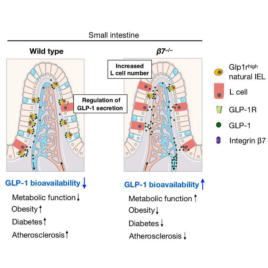 Illustrations of small intestine comparing presence of cells that regulate metabolism.