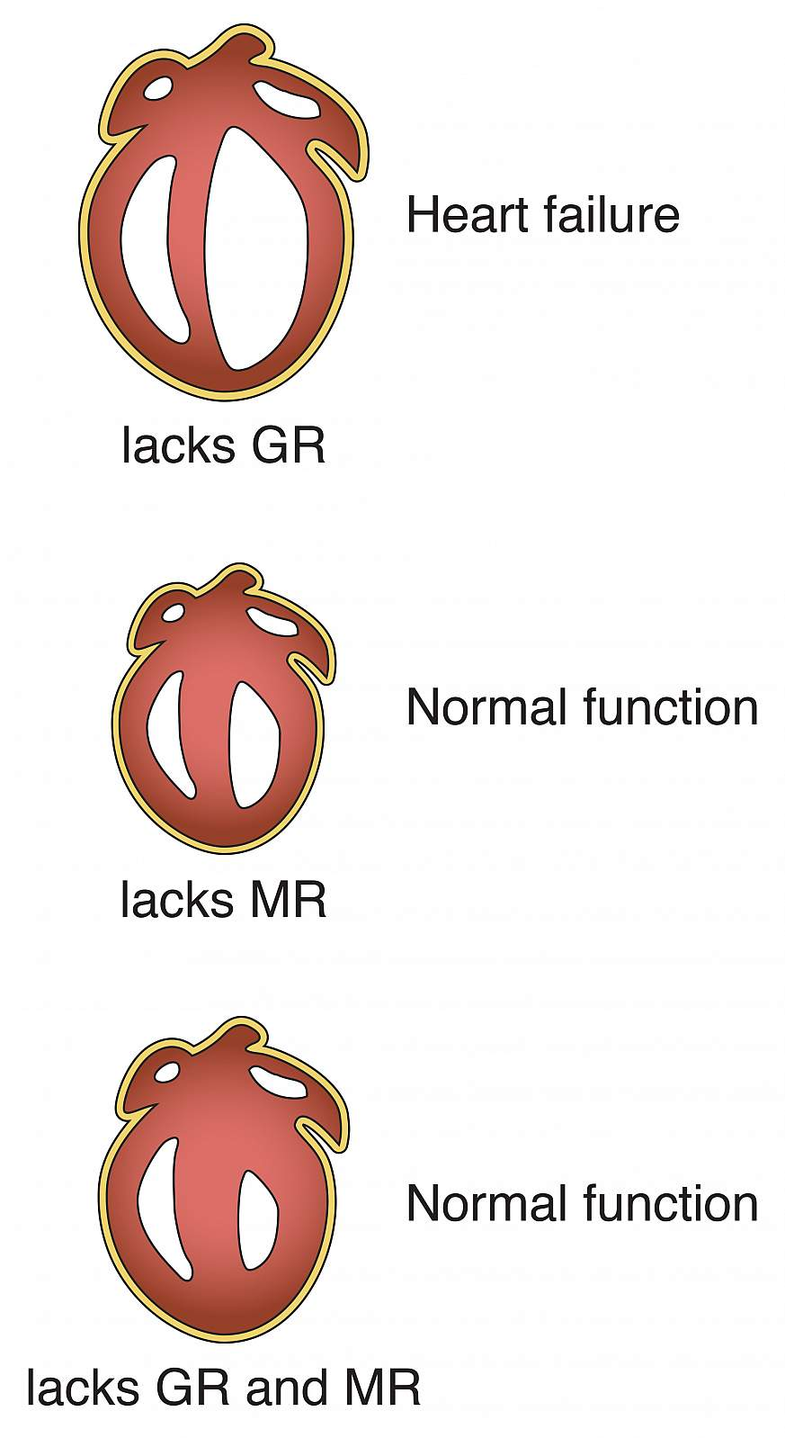 Illustration of mice hearts that lack stress hormone receptors