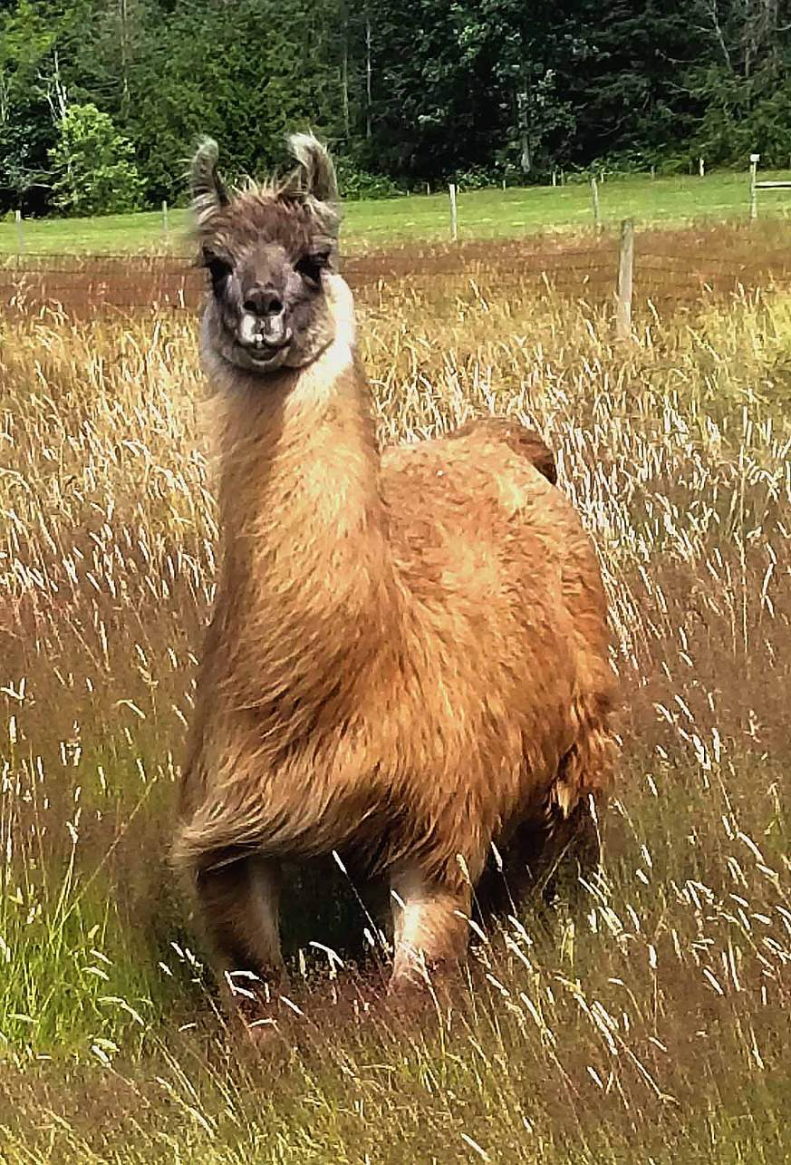 Image of Cormac the llama