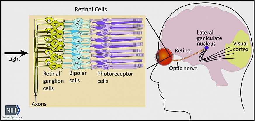 Diagram of the optic nerve
