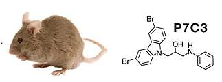 Photo of a mouse and a compound discovered living in mice