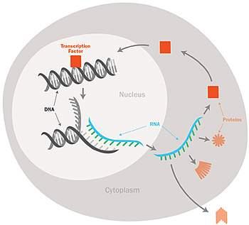Gene transcription process