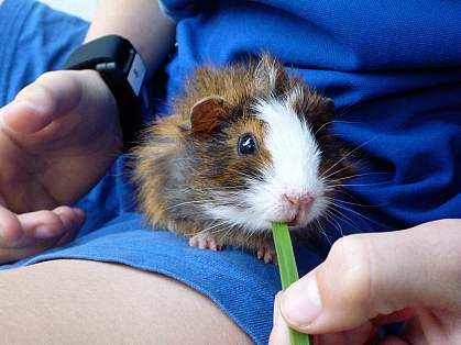 Image of a Guinea pig on a child's lap.