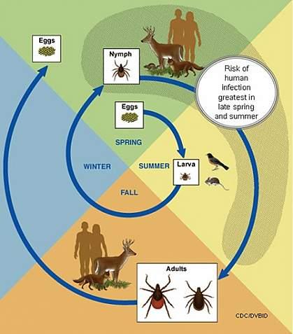 Lifecycle of Ixodes scapularis tick