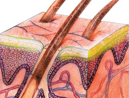 A drawing of a microscopic cross section of skin.