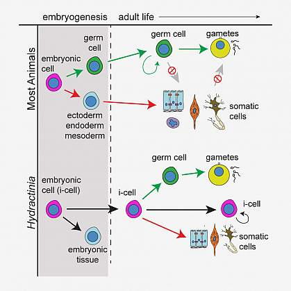 Illustration of germ cell formation